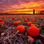 Puyallup's Pumpkin Patches