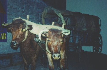 Ezra Meeker's Oxen Dandy and Dave