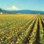 Puyallup Daffodils